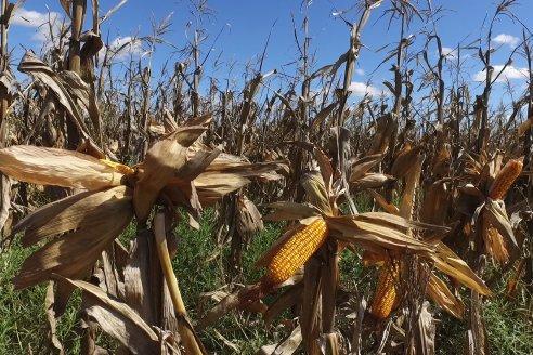 Sustentabilidad y precio son los fundamentos del maíz