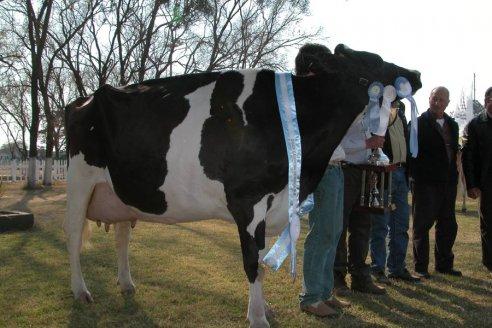 Las vacas entrerrianas que están en la elite de la raza Holando Argentina