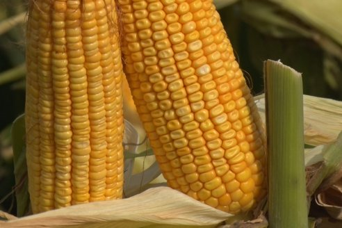 La falta de agua en Brasil y USA impulsa el precio del maíz