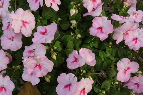 Las plantas ornamentales remedian los suelos que dañaron con plomo