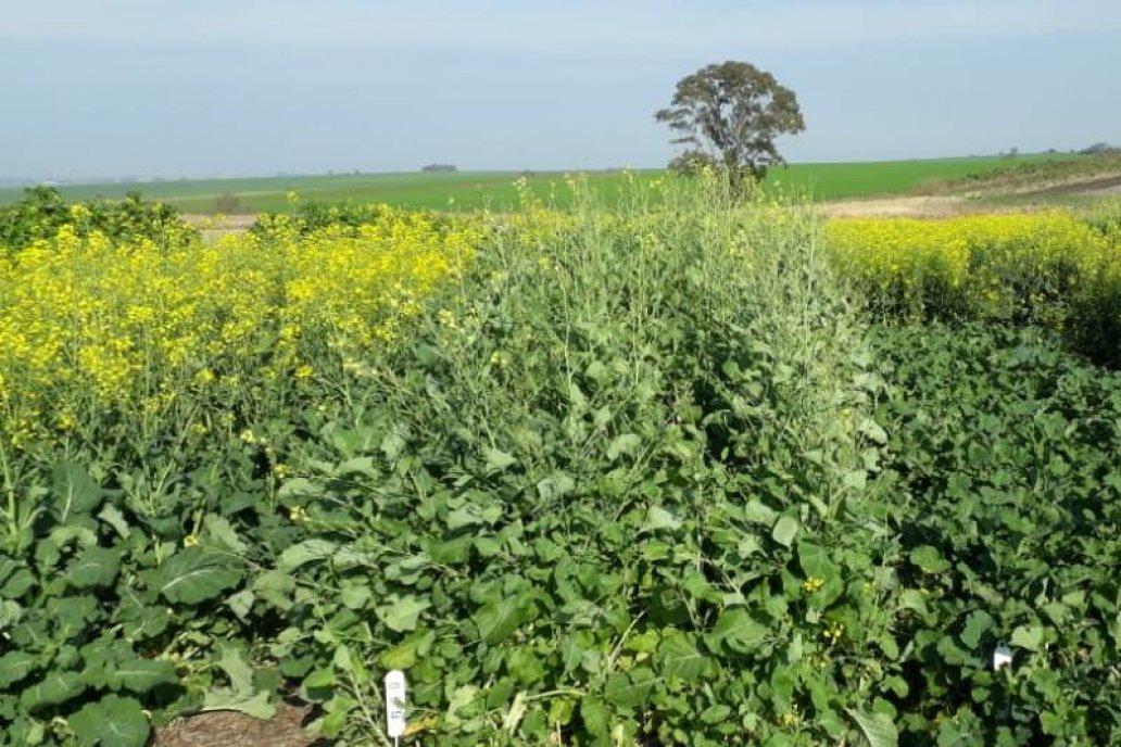 El resultado de su producción se puede convertir en biocombustible.