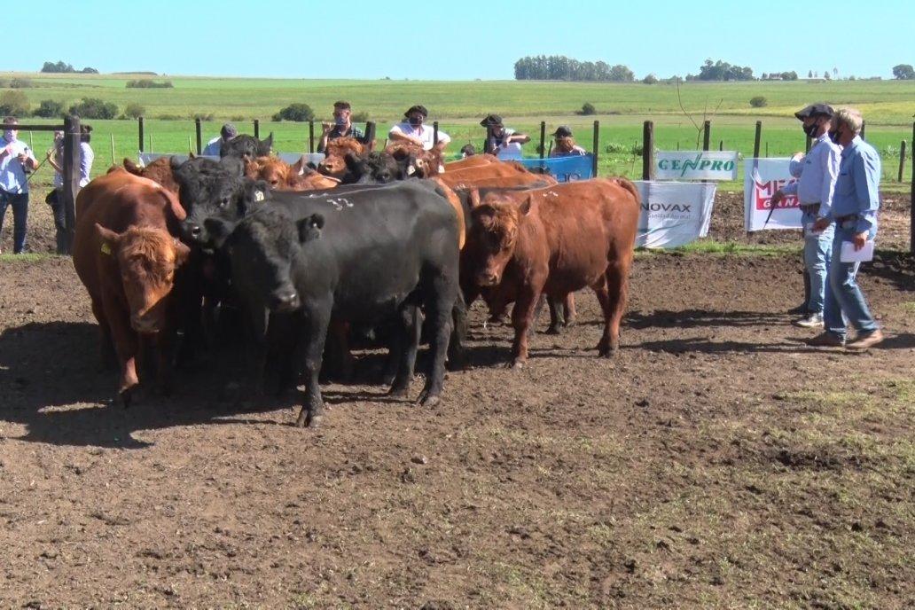 Los toros transitan la prueba en el establecimiento San Esteban, de Ramírez.