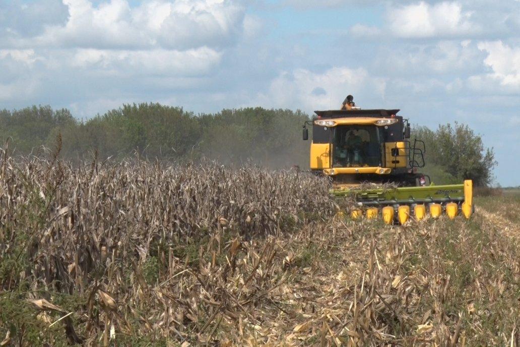El lote fue sembrado a principio de septiembre y soportó 55 días sin lluvias.