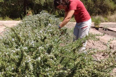 Para INTA, el Romero es un cultivo que merece más estudio