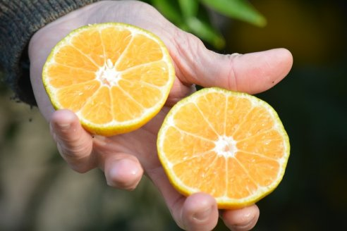 Presentan dos nuevas variedades de mandarinas entrerrianas