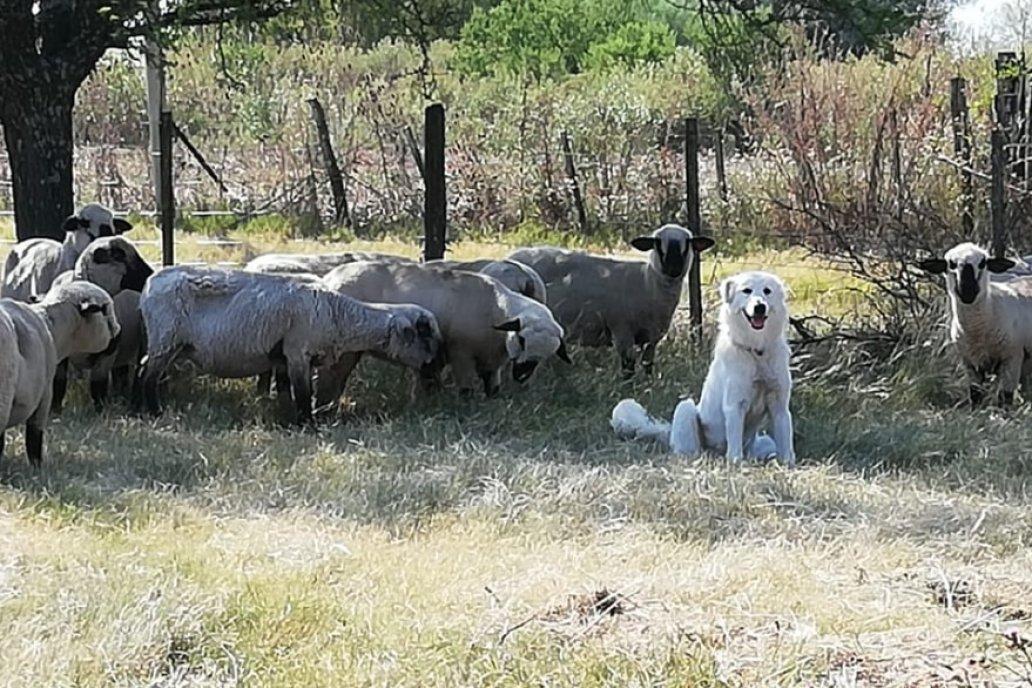 La conducta del perro de la raza maremmano fue noticia nacional.