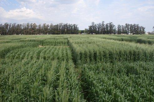 Evalúan respuesta a fungicidas en diversas variedades