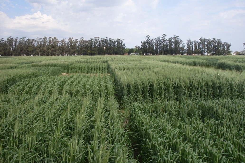 El trabajo se extendió entre las principales regiones trigueras argentinas.