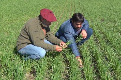 Los rendimientos en trigo estarán limitados por el déficit hídrico