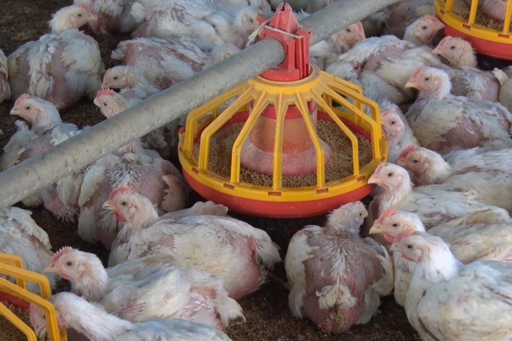 La desregulación perjudica directamente a la actividad avícola entrerriana.