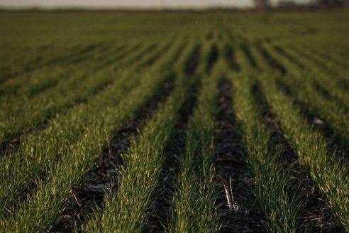 Una solución digital para el problema de las enfermedades en trigo y cebada