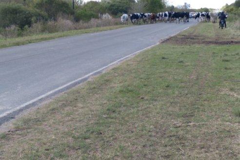 La rebelión de las vacas de la escuela Las Delicias