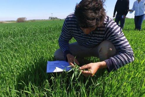 Revisan con atención el impacto de la roya en campos de Gualeguay