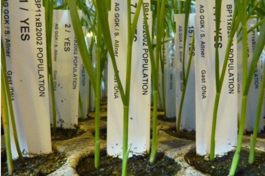 La mejora genética de la planta es un fundamento para aumentar la producción.